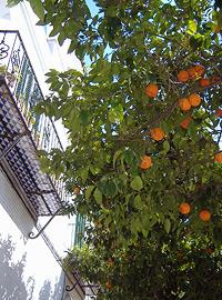 Orangenbaum vor einem Haus mitten im Stadtviertel Santa Cruz. Die orangen Früchte in der Stadt verleihen ihr ein ganz besonderes und ansprechendes südländisches Flair.
